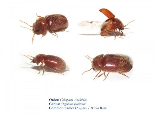 Best Flour Beetle Infestation In Bedroom Www Indiepedia Org With Pictures