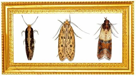 Best Moths In My House Small Moths In My House Tiny Moths In My With Pictures