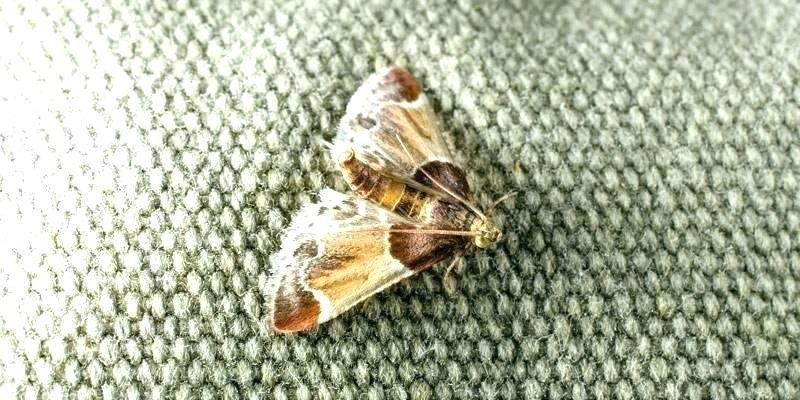 Best Moths In My House Small Household Moths – Limonchello Info With Pictures