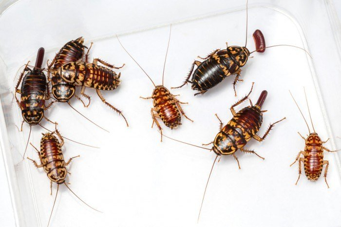 Best 9 Great Ways To Deal With Baby Roaches Fast And Easy With Pictures