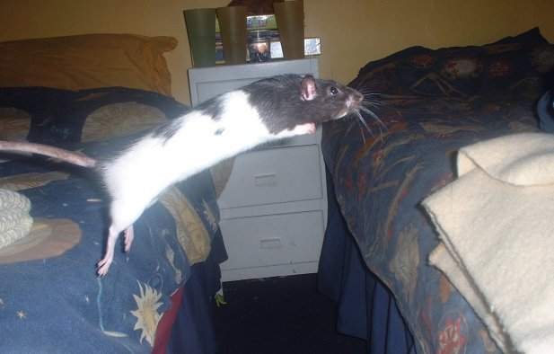 Best Rat Olympics With Pictures