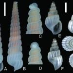 三重県および宮崎県で採集されたトウガタガイ科貝類 —ミエイトカケギリ(新称)及びダンダンイトカケギリ(新称)—(三浦知之)