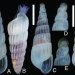 南九州と他海域で採集されたトウガタガイ科貝類の記録 —イソイトカケギリ,ホソウネイトカケギリおよび アバライトカケギリに類似した 3 種—(三浦知之)
