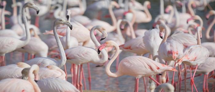 Flamingos in Ras Al Khor.