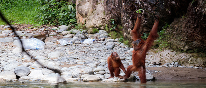orangutans in the forest