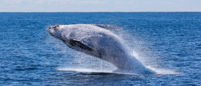 things to do in Maldives - whale tour maldives