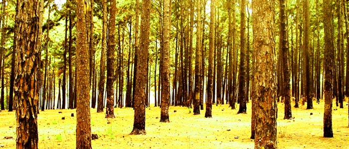 Ngwo Pine Forest, Nigeria