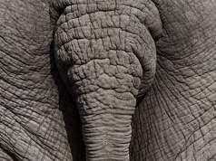 Ein Elefantenhintern; Bild: Unsplash