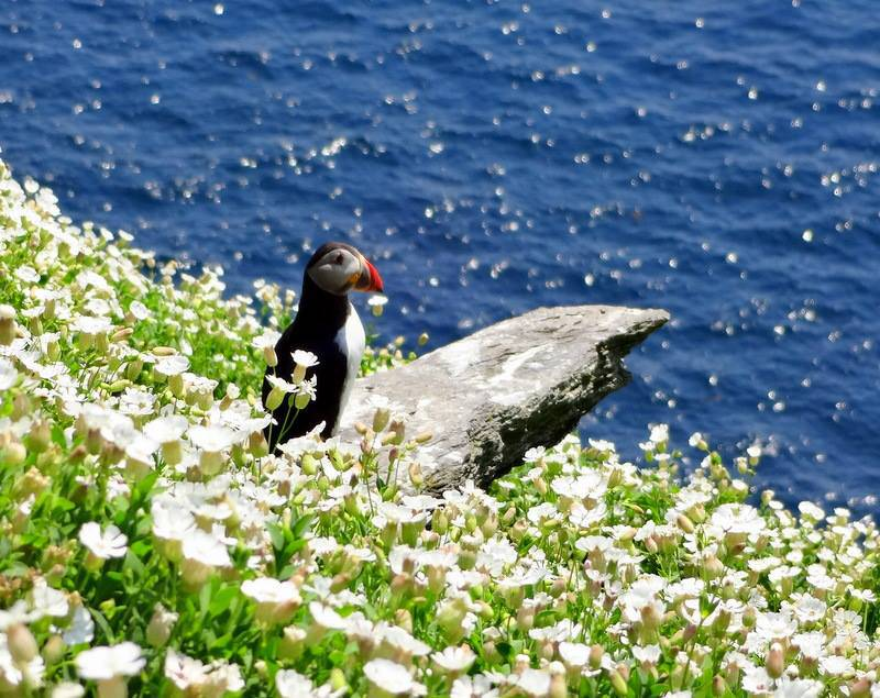 puffin-skelligs