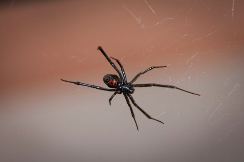 black widow belize
