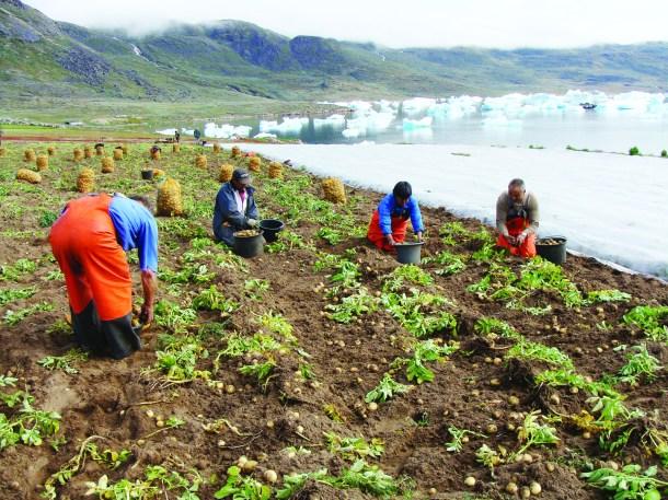 Potato farming in south Greenland