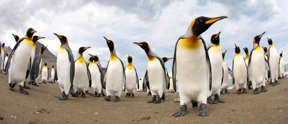 Curious king penguins at St Andrews Bay. (photo Mick Mackey).