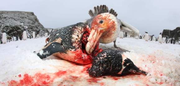 At South Georgia, giant petrels obtain food from marine and terrestrial sources by predation and scavenging. (photo Mick Mackey).