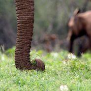 Elephant grazing in the wet season