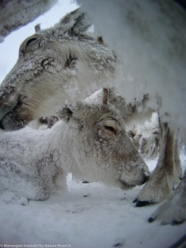 Reindeer are well equipped for enduring temperatures of -30⁰C or more. Their fur coat is very thick and it is composed of hollow, tubular hair providing exceptional insulation. Photo: wild reindeer.