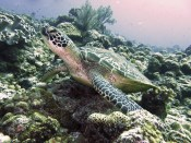 Green sea turtle (Chelonia mydas) in the coral reef surrounding Okinawa, Japan. Photo by Dr. Gil Koplovitz.