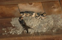 Sex-dependent carry-over effects on timing of reproduction and fecundity of a migratory bird. Saino et al. http://doi.org/10.1111/1365-2656.12625