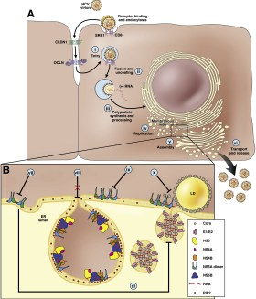 HCV life cycle and the potential sites of NS5A inhibitor action