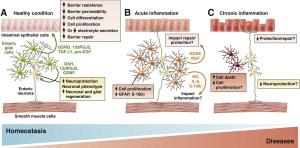 EGCs have neuroprotective effects and regulate neuromediator expression and neuron renewal via different mediators (A). EGCs also regulate intestinal epithelial barrier homeostasis via gliomediators. Under inflammatory conditions or following  or bacterial stimulation (B), enteric gliosis (similar to astrogliosis in the brain) can occur. This could lead to development of intestinal inflammation, or protection or repair of IEB/neuronal lesions induced by these processes. EGC death (induced by specific virus or pathogens) or altered enteric gliosis could contribute to neuronal degeneration or barrier dysfunctions observed in some chronic intestinal or extraintestinal diseases (C).