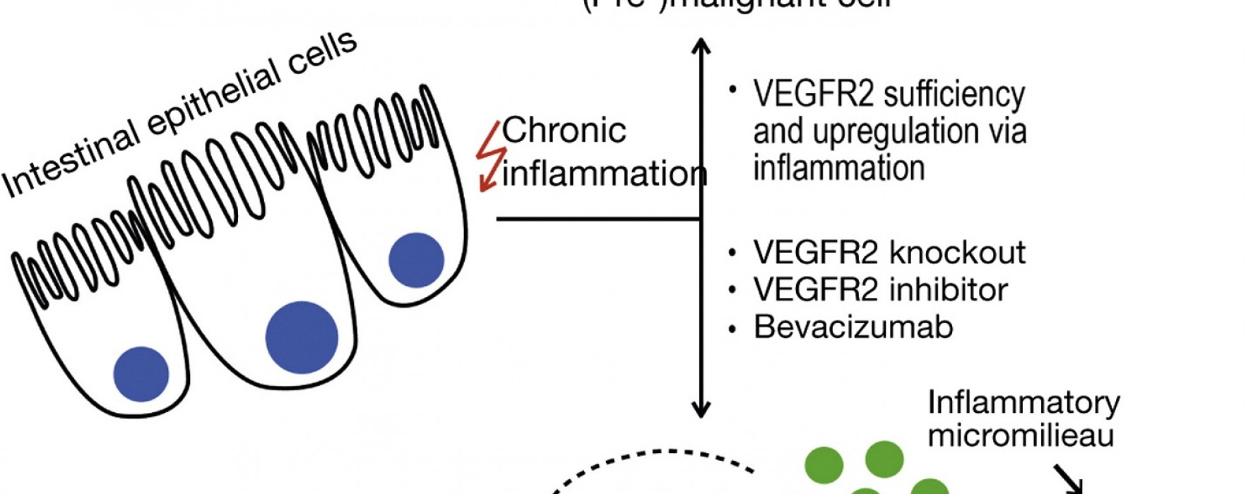 VEGF Signaling Prevents Senescence in Colorectal Tumors