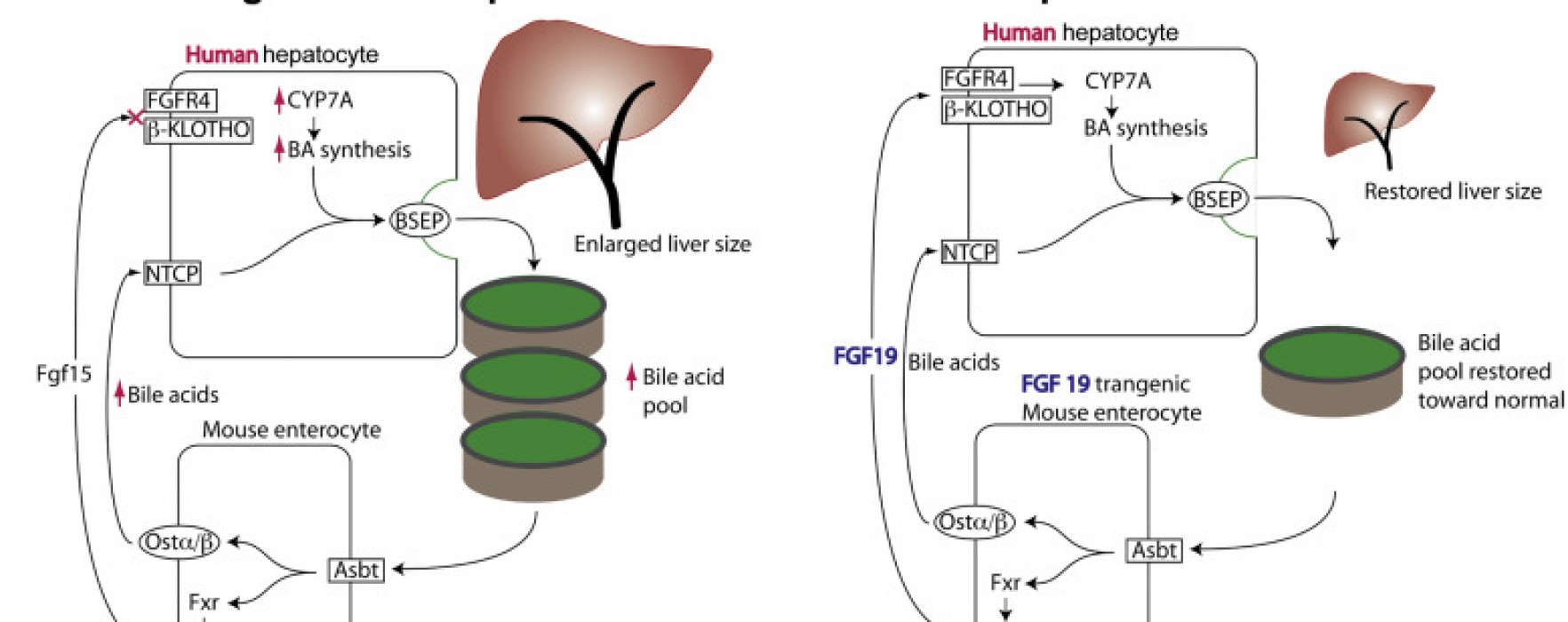 What Controls Liver Size?