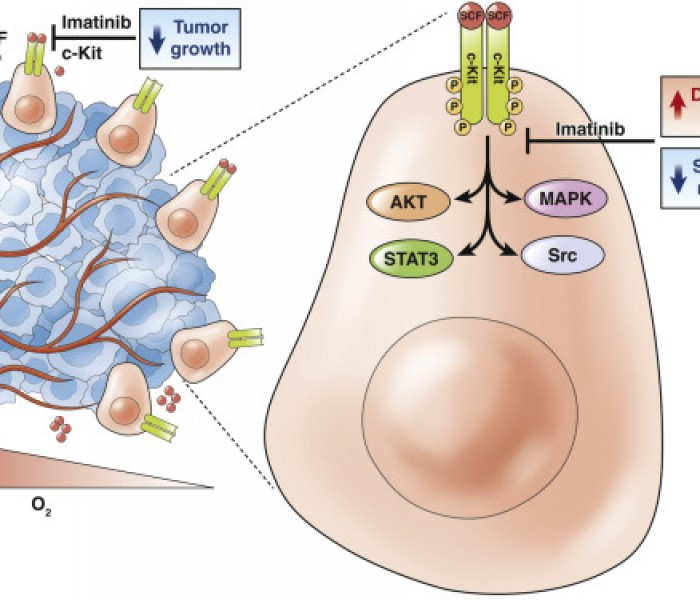 How do Differentiated Tumor Cells Support Cancer Stem Cells?