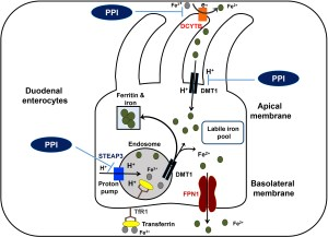 Dietary nonheme (predominantly ferric or Fe3+) iron is transported bound to transferrin (Tf) or unbound. Iron bound to Tf binds to the transferrin receptor (TfR1) and is internalized via receptor-mediated endocytosis. Fe3+ is released from Tf as a result of the decrease in endosomal pH, and 6-transmembrane epithelial antigen of the prostate 3 (STEAP3), reduces it to Fe2+. Fe2+ then is transported through the endosomal divalent metal transporter (DMT1) into the cytosol. This iron becomes part of the labile iron pool, which can be stored as a complex with ferritin or used for synthesis of Fe-containing proteins or exported out of the cell by ferroportin (FPN1). Non–Tf-bound iron is taken up by ferrireductases such as duodenal cytochrome b (DCYTB). In the presence of a proton gradient, such enzymes reduce ferric to ferrous, which are transported by the DMT1 into the enterocyte. Because a low pH and protons are needed for both extracellular and endosomal ferrireductases, PPIs reduce the absorption of iron.