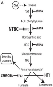 The tyrosine catabolic pathway. Genetic deficiency of Fah causes hereditary tyrosinemia type 1 due to accumulation of FAA in hepatocytes. The disease can be treated pharmacologically or by shRNA knockdown of the genes required for making FAA. CEHPOBA (4-[(2-carboxyethyl)-hydroxyphosphinyl]-3-oxobutyrate) inhibits FAH and causes accumulation of FAA. TAT, tyrosine aminotransferase; MAI, maleylacetoacetate isomerase.