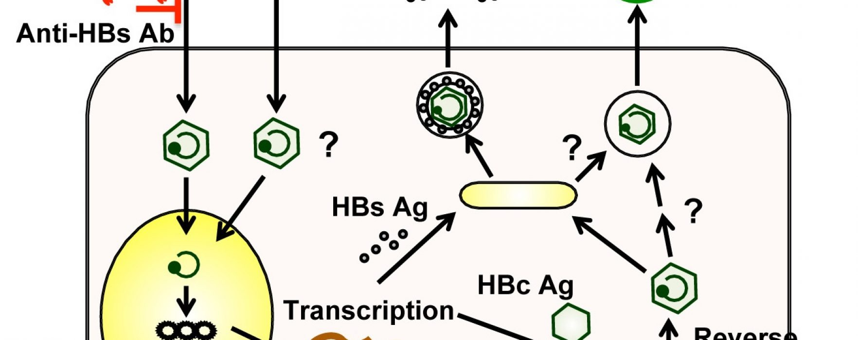 A New Pathway for Transmitting HBV DNA? | AGA Journals Blog