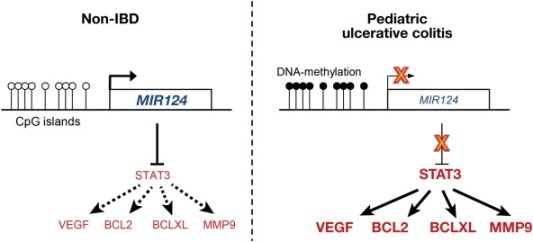 In colon tissues from pediatric patients with UC, methylation in the promoter region of MIr124 reduces its expression. Reduced levels of MIR124 lead to increased levels of STAT3 and increased activation of its target genes, which include VEGF, BCL2, BCLXL, and MMP9