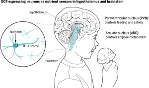 In mice, OGT in hypothalamic PVN Camk2a-positive neurons acts as a nutrient sensor by controlling overeating, whereas OGT in hypothalamic arcuate and agouti-related protein neurons controls the metabolic activity of adipose tissue. These OGT-expressing neuronal regions also exist in the human brain. Source: Science