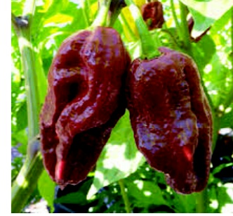 The hottest pepper in the world