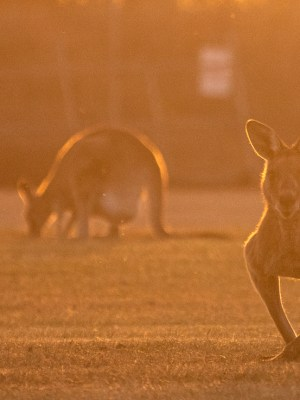 Backlit Kangaroos In Park At Sunset