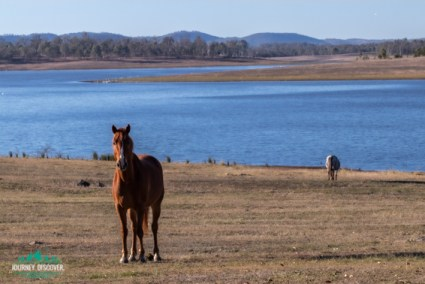 Horses at Lake Barambah