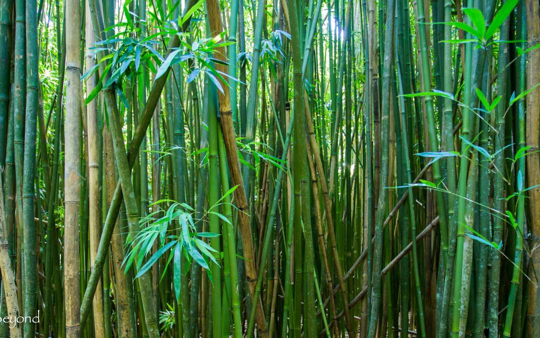 Uncovering the Secrets of the Bamboo Forest ~ Maui's Pipiwai Trail