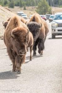 yellowstone-buffalo-bison