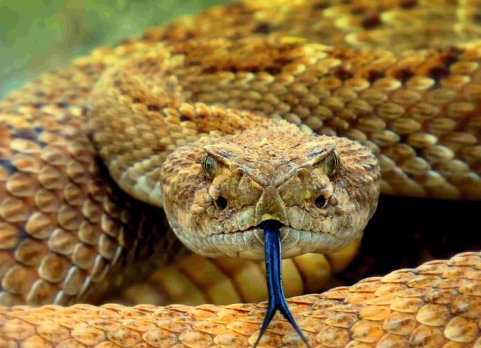 Rattlesnake - Unsplash - Meg Jerrard
