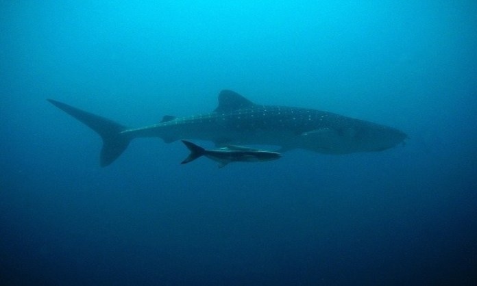 Whale shark swimming in the ocean, sometimes these sharks can be seen in Costa Rica