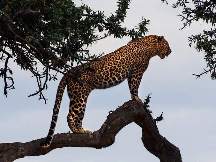 A stunning jaguar balancing on a branch
