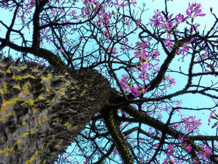 Kapok Silk Cotton Tree