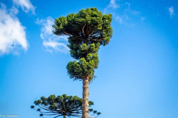 High rising parana pine trees