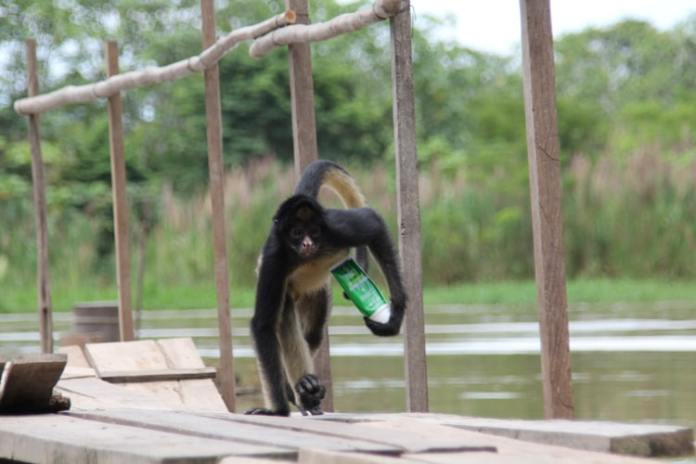 A Spider Monkey crossing a wooden bridge over a river