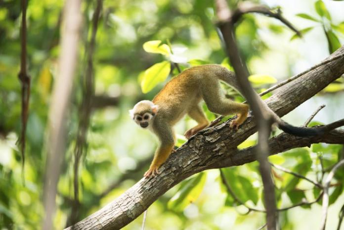 A small squirrel monkey clambering down a tree in Rincón de la Vieja National Park, another one of the best places to see monkeys in Costa Rica