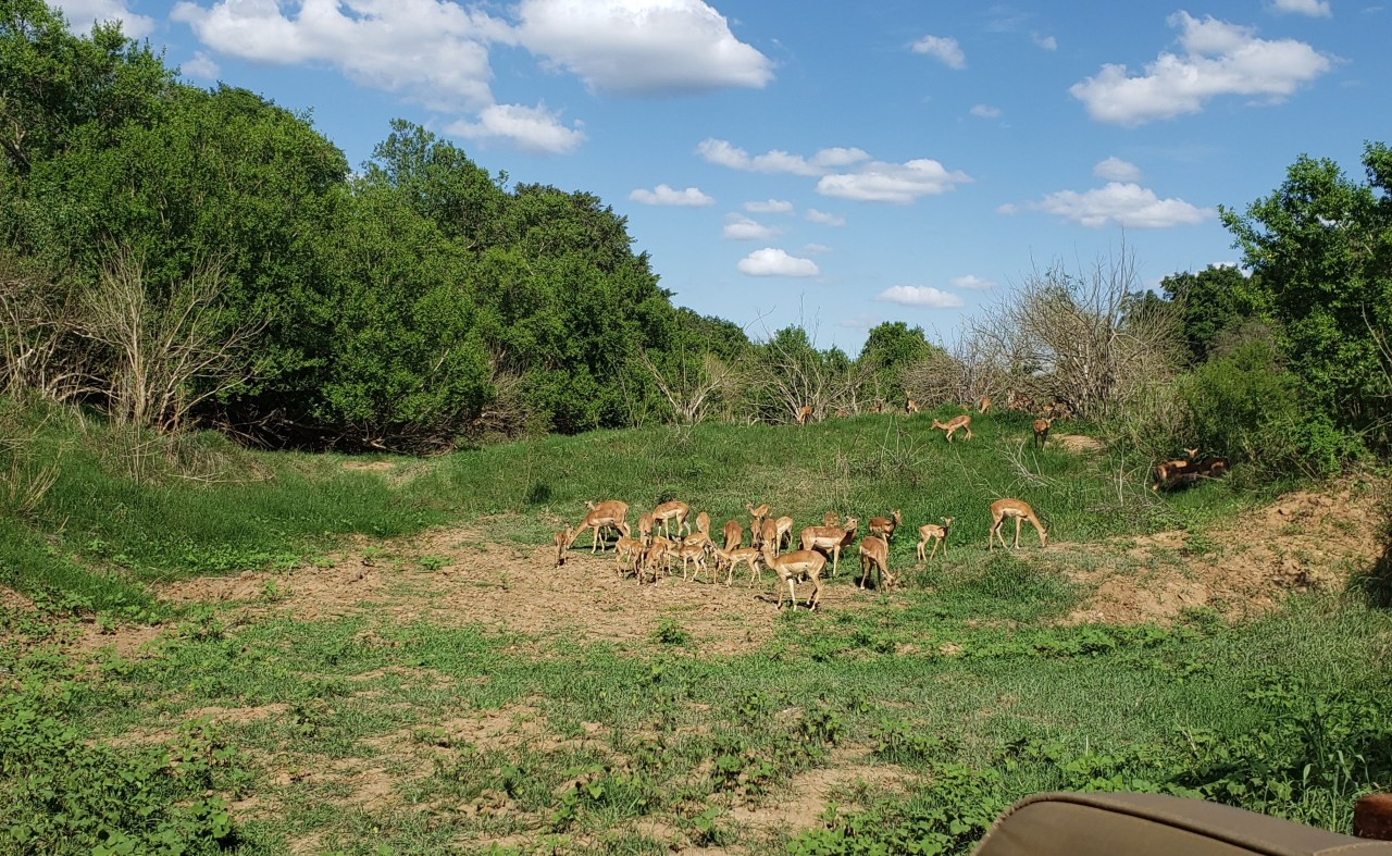 Herd of impala grazing