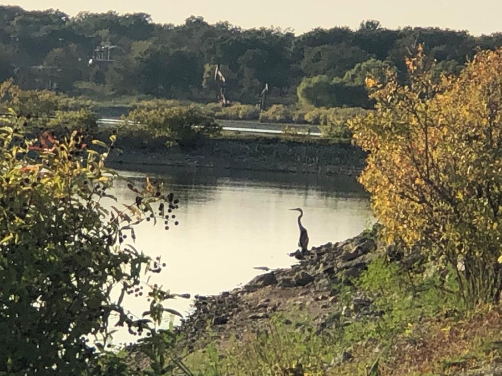 A pondering heron, in profile!