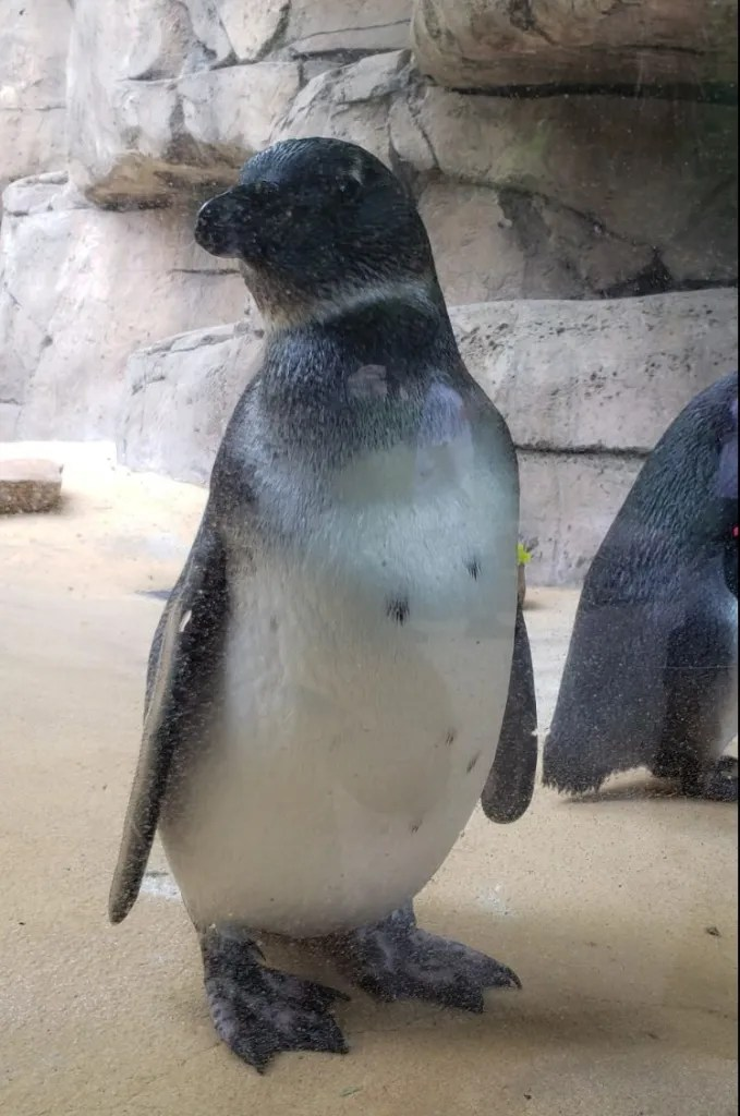 African Penguin at the Dallas Zoo