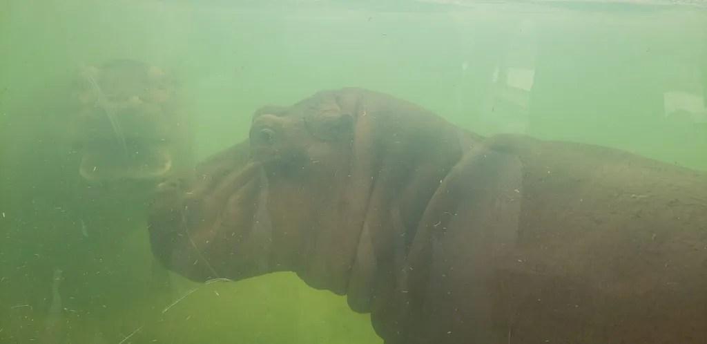 Hippos under water