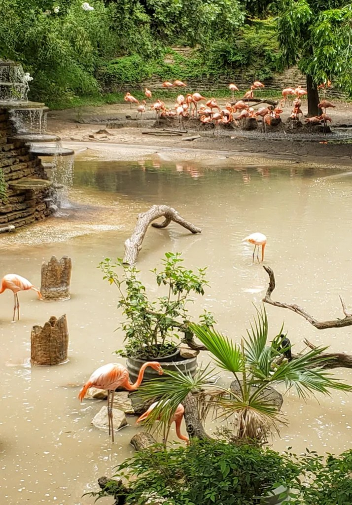 Flamingos at the pond
