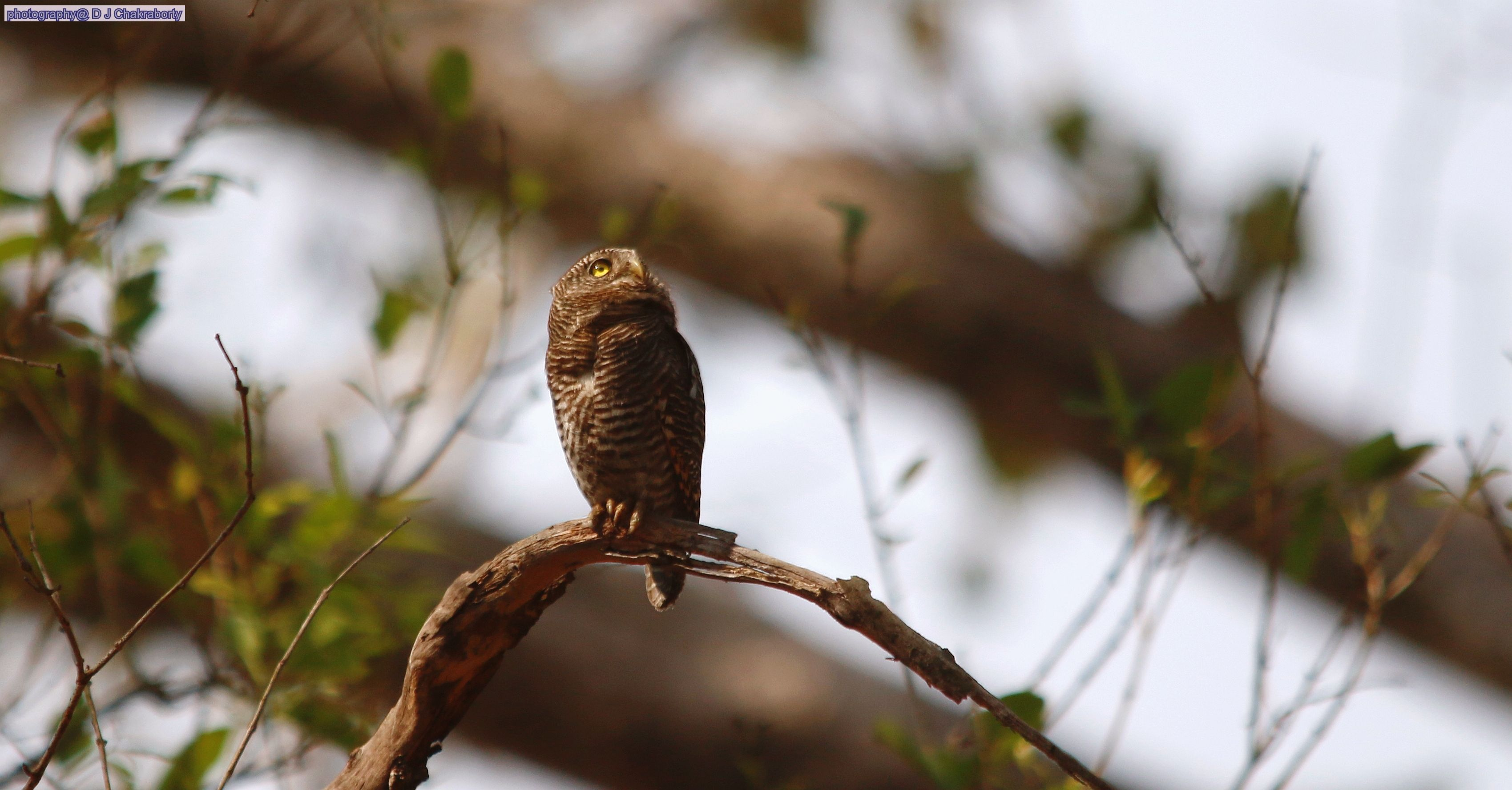 Barred Jungle Owlet