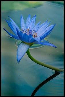 blue-lotus